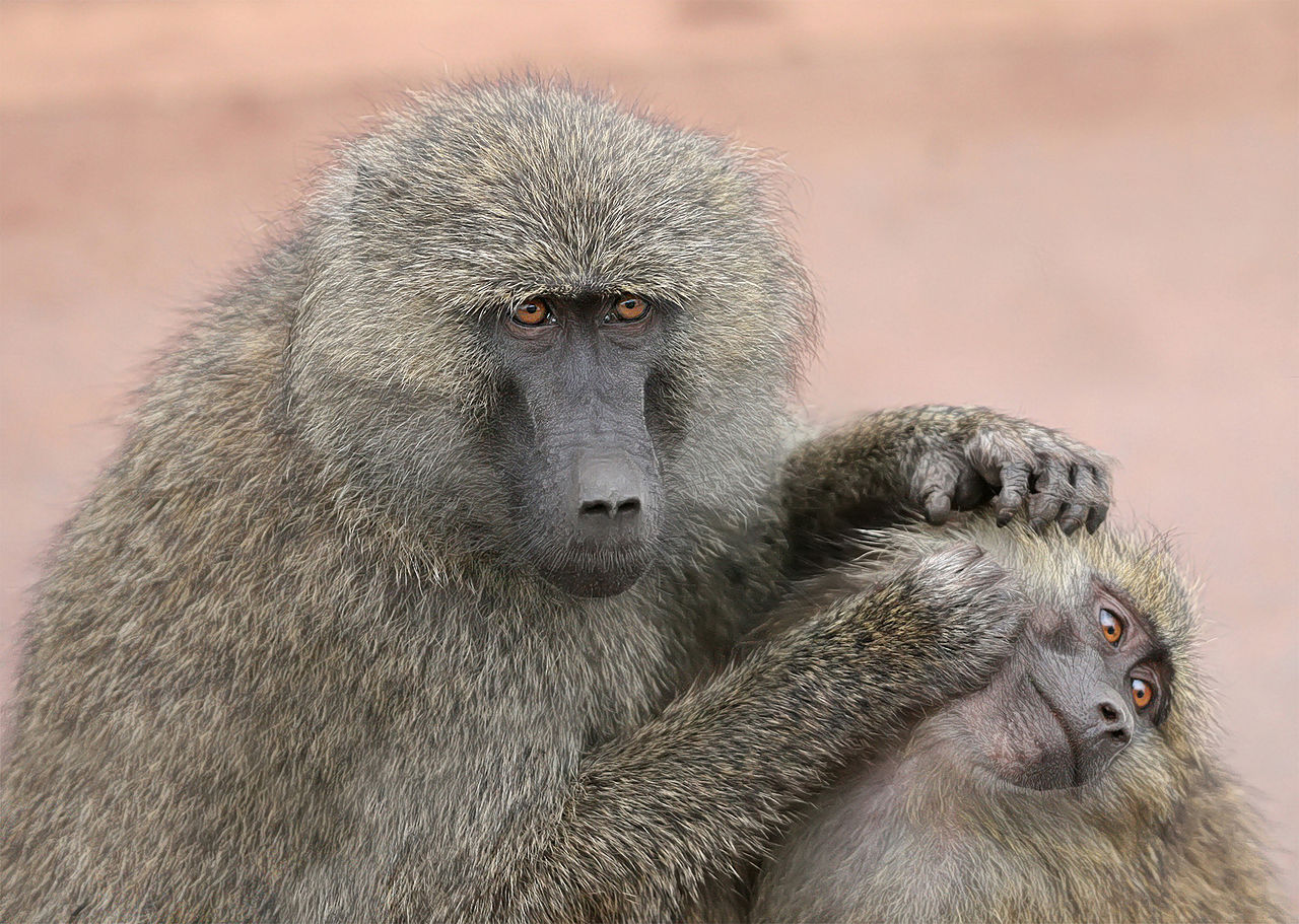 Grooming monkeys by Muhammad Mahdi Karim